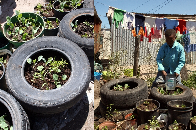 Watering the recycled tyre containers.