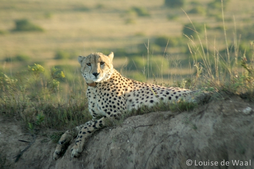 Amakhala Game Reserve cheetah