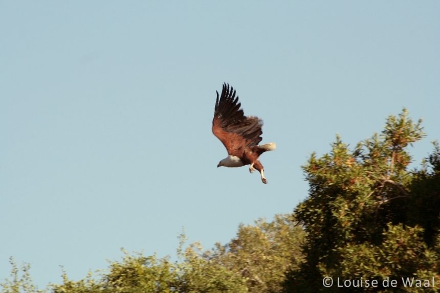 Amakhala Game Reserve fish eagle