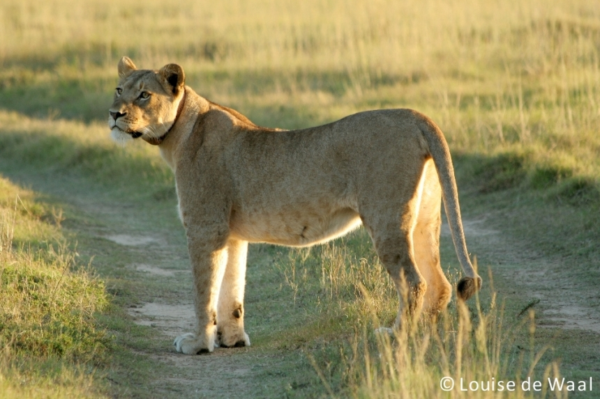 Amakhala Game Reserve lioness