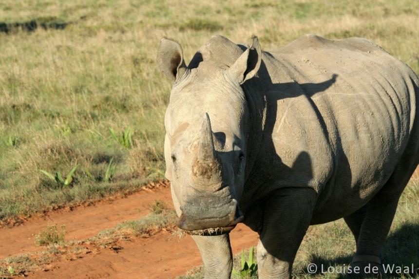 Amakhala Game Reserve rhino