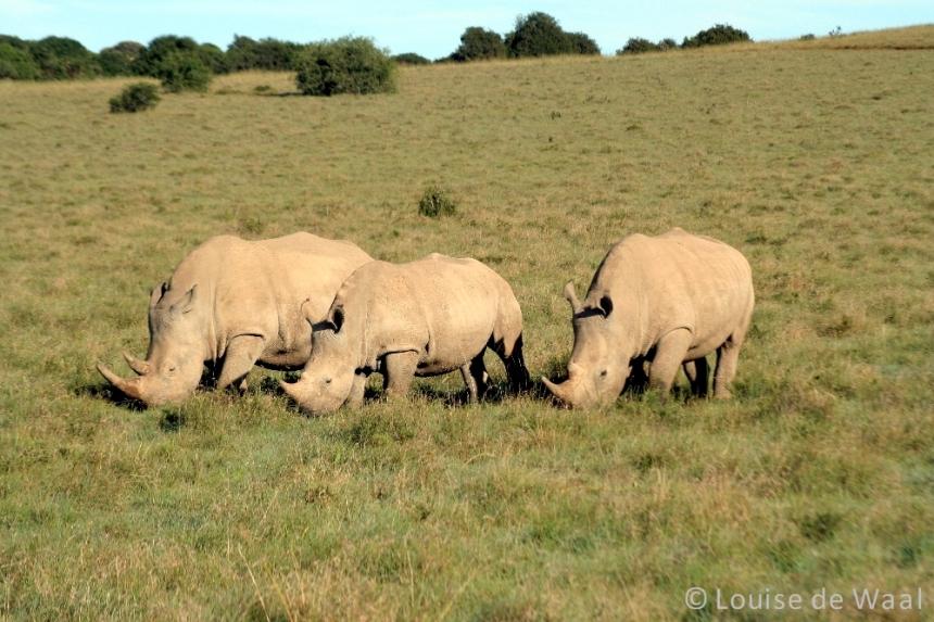 Amakhala Game Reserve rhinos