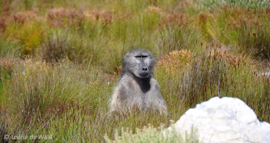 Baboon in Cape Point National Park South Africa