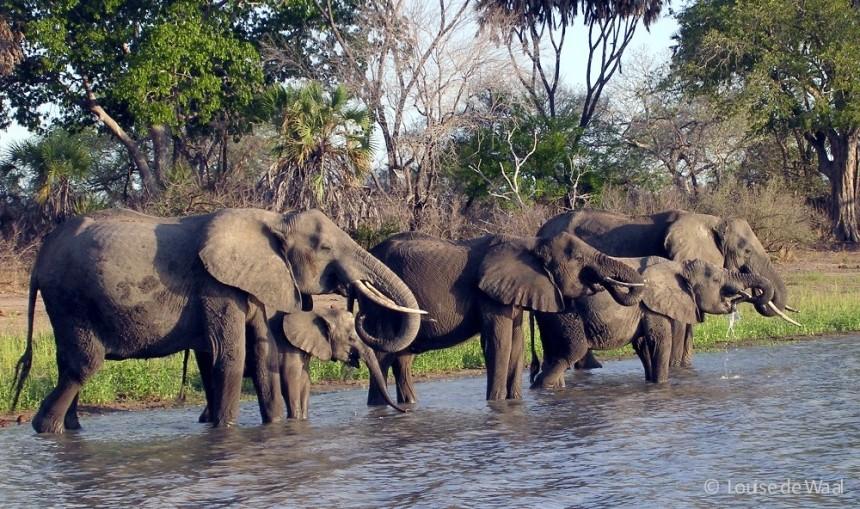 Elephants in Selous Tanzania