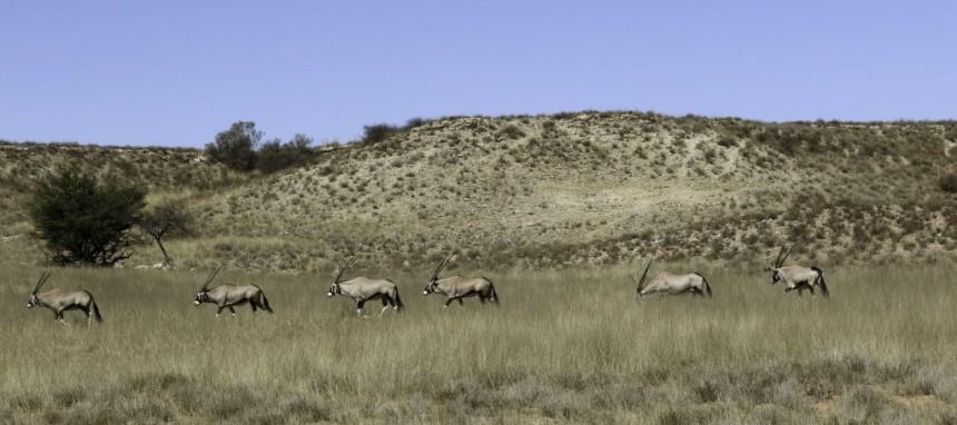 Kgalagadi-Oryx-1024x455
