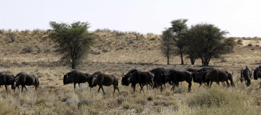 Kgalagadi-Wildebeest-1024x455