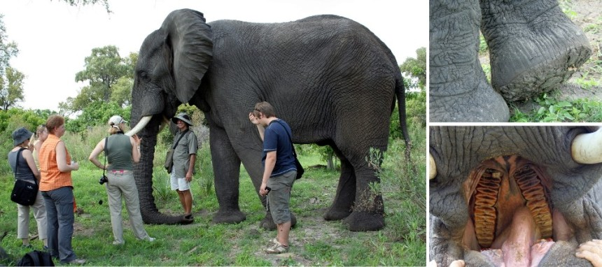 Elephant walk with Living with Elephants Foundation