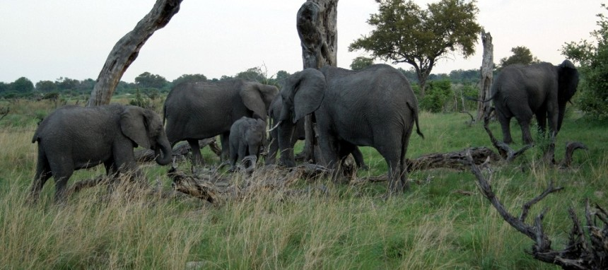 Elephant herd in Okavango Delta