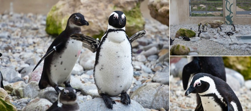 African-Penguin-and-Seabird-Sanctuary-APSS-Endangered-Species