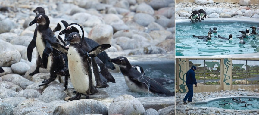 African-Penguin-and-Seabird-Sanctuary-APSS
