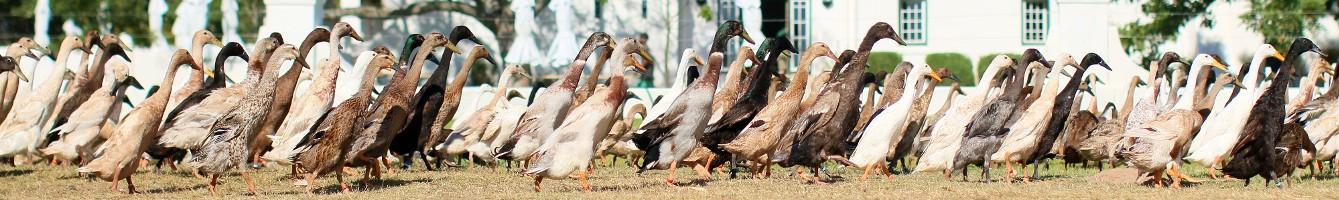 Indian Runner Ducks Vergenoegd