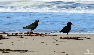Black Oystercatchers at Rocherpan reserve
