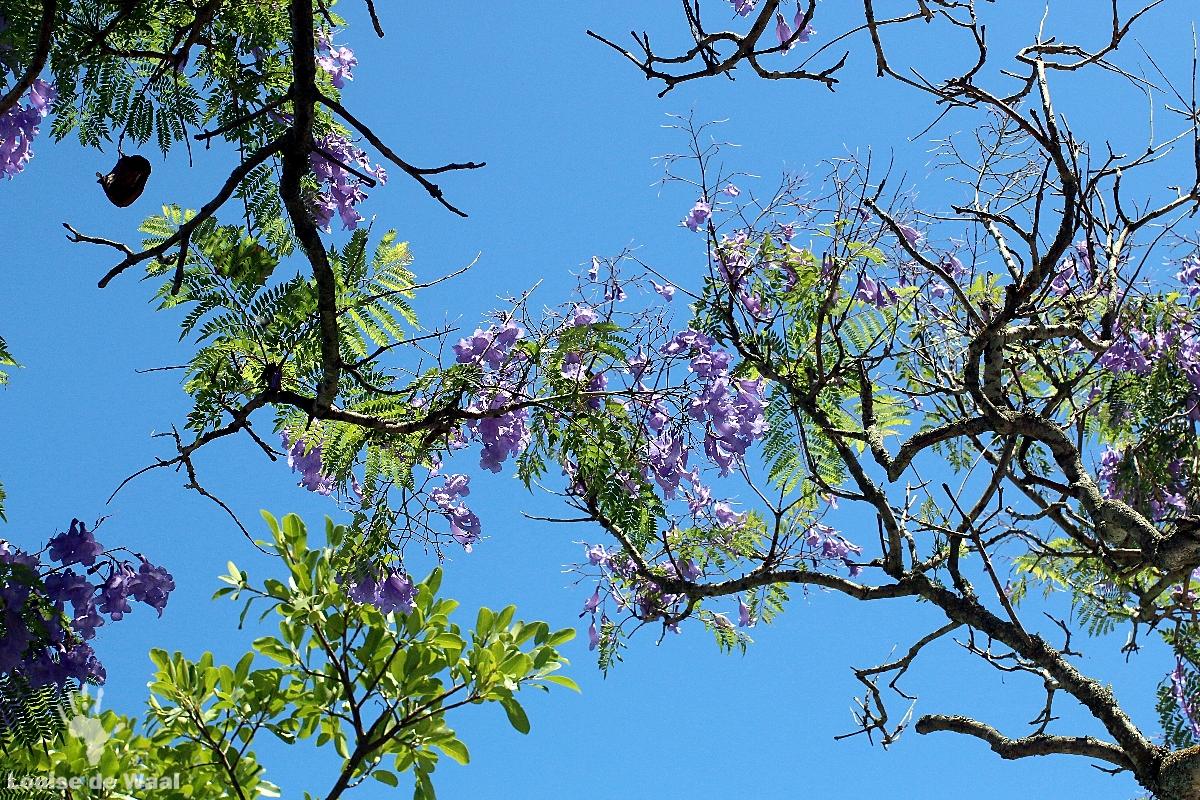 Flowering Jacaranda tree at Vergenoegd