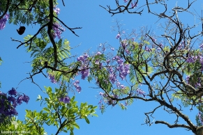 Flowering Jacaranda tree at Vergenoegd