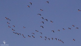 Flying flamingos at Rocherpan Nature Reserve