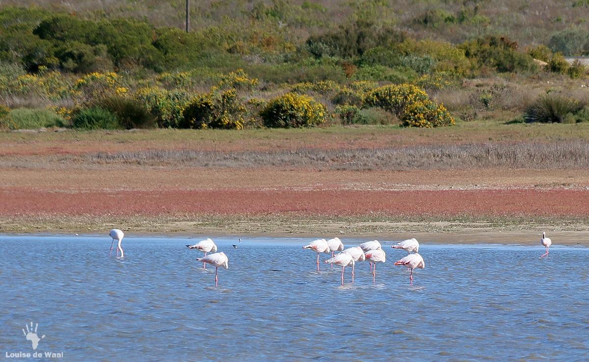 Rocherpan birding reserve sleeping flamingos