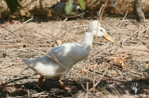 Natural pest control Runner duck