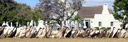 Runner ducks at Vergenoegd