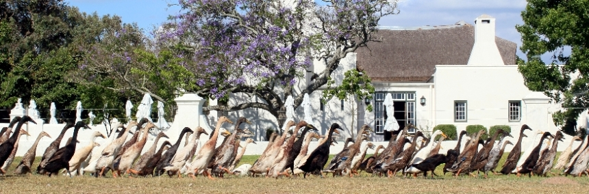 Runner ducks at Vergenoegd