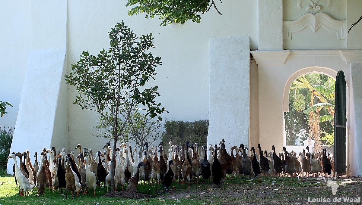 Indian Runner ducks at Vergenoegd