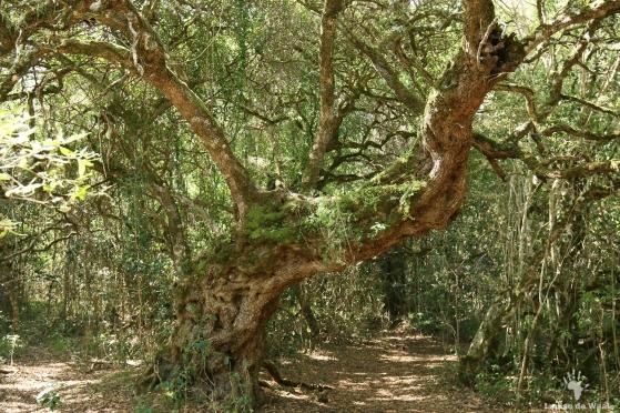 1000 year old tree in Platbos, Gansbaai