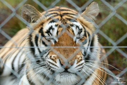 Arabella the rescued tiger, Panthera Africa, Stanford