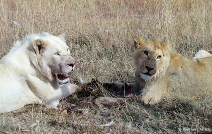 Obi and Oliver shortly after their rescue from lion breeding farm
