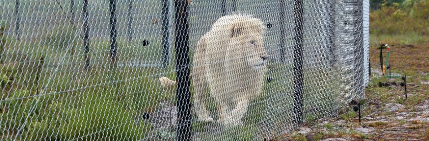 Neptune the White lion at Panthera Africa
