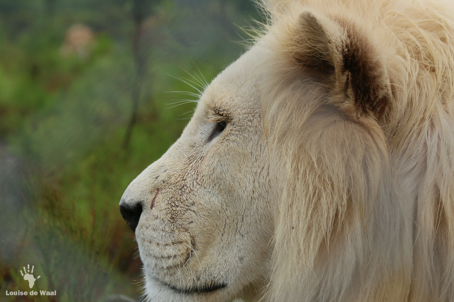 Neptune the rescued white lion at Panthera Africa sanctuary, Stanford