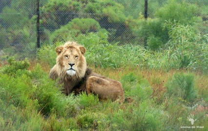 Obi, the rescued lion at Panthera Africa, Stanford Overberg