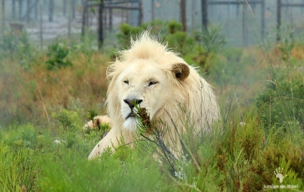 Oliver, the rescued lion at Panthera Africa, Stanford Overberg
