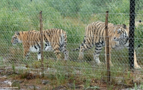 Two rescued tiger at Panthera Africa, Stanford Overberg