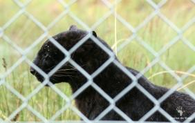 Pardus the black leopard, Panthera Africa