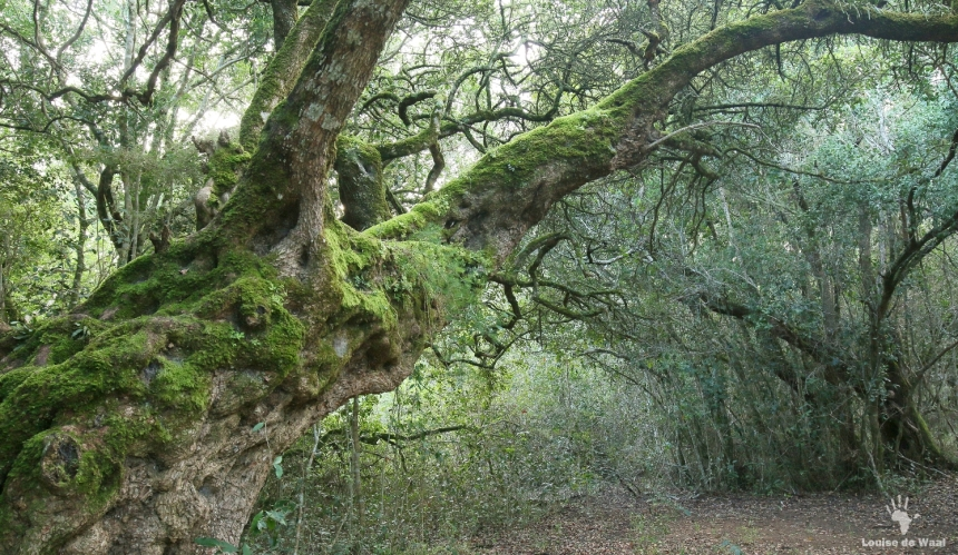 Platbos ancient forest in the Overberg, South Africa