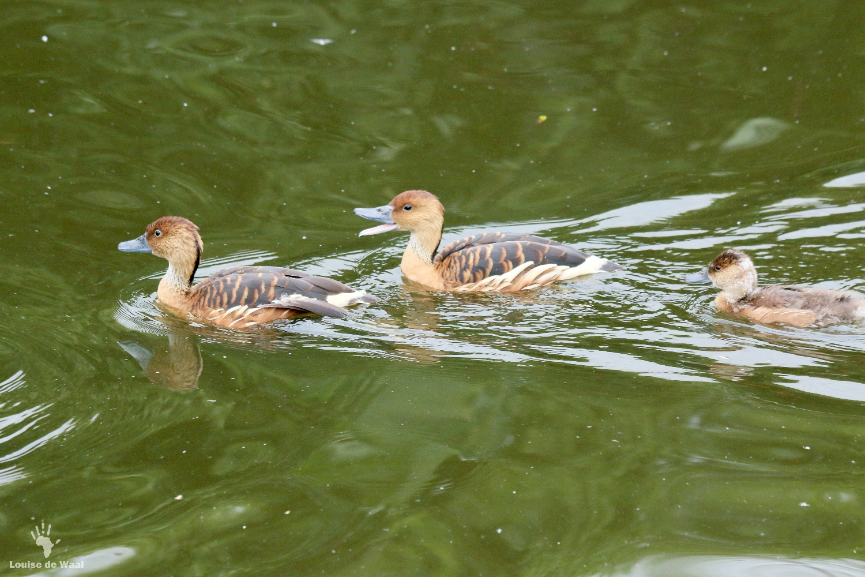 Fulvous whistling duck Birds of Eden