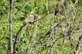 Mousebird at Gamkaberg Nature Reserve, Calitzdorp