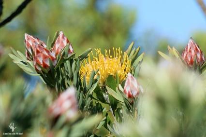 Oukraal Fynbos Proteas Gamkaberg