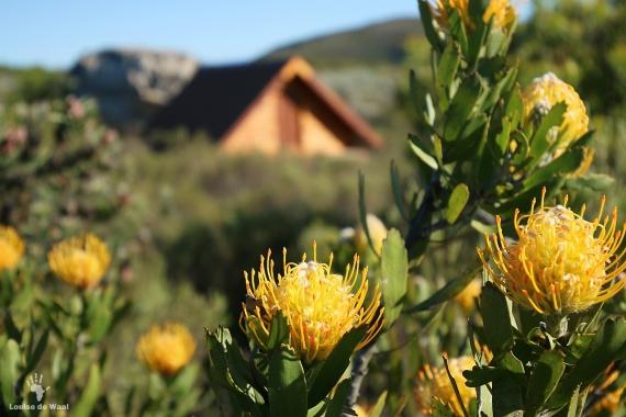 Oukraal Pincushion Proteas, Gamkaberg