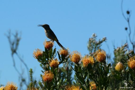 Oukraal Sugar bird on pincushions