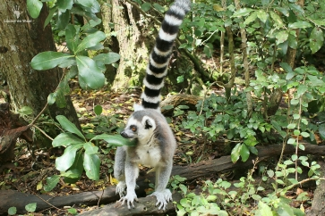 Ring-tail lemur Monkeyland