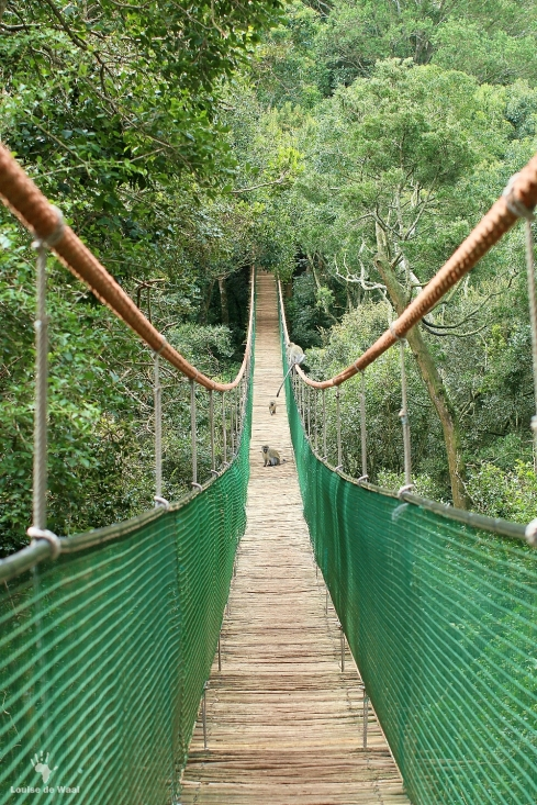 Suspension bridge at Monkeyland
