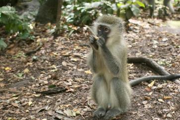 Vervet monkey Monkeyland