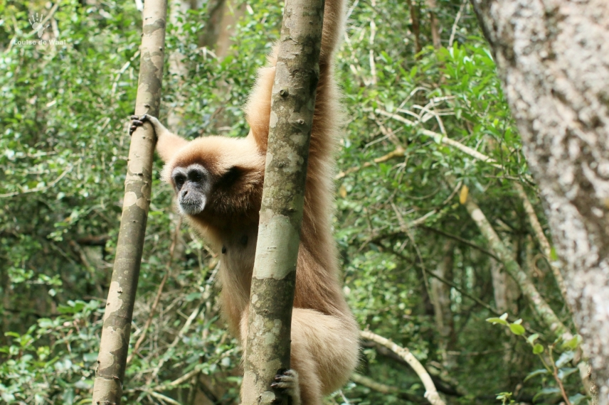 White-handed gibbon Monkeyland