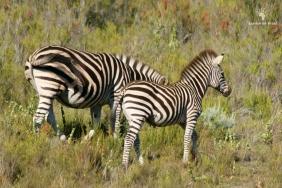 Baby zebra, Gondwana Tented Eco Camp, Garden Route