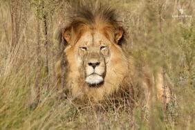 Beautiful lion at Gondwana Big Five Game Reserve, Garden Route