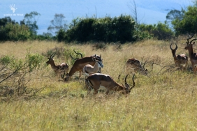 Game count Impalas Gondwana Game Reserve, Mosselbay
