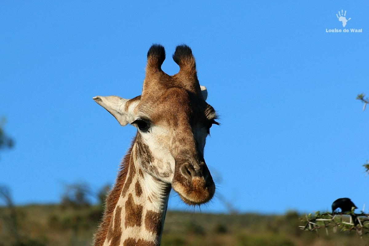 Giraffe at Gondwana Game Reserve, Mosselbay