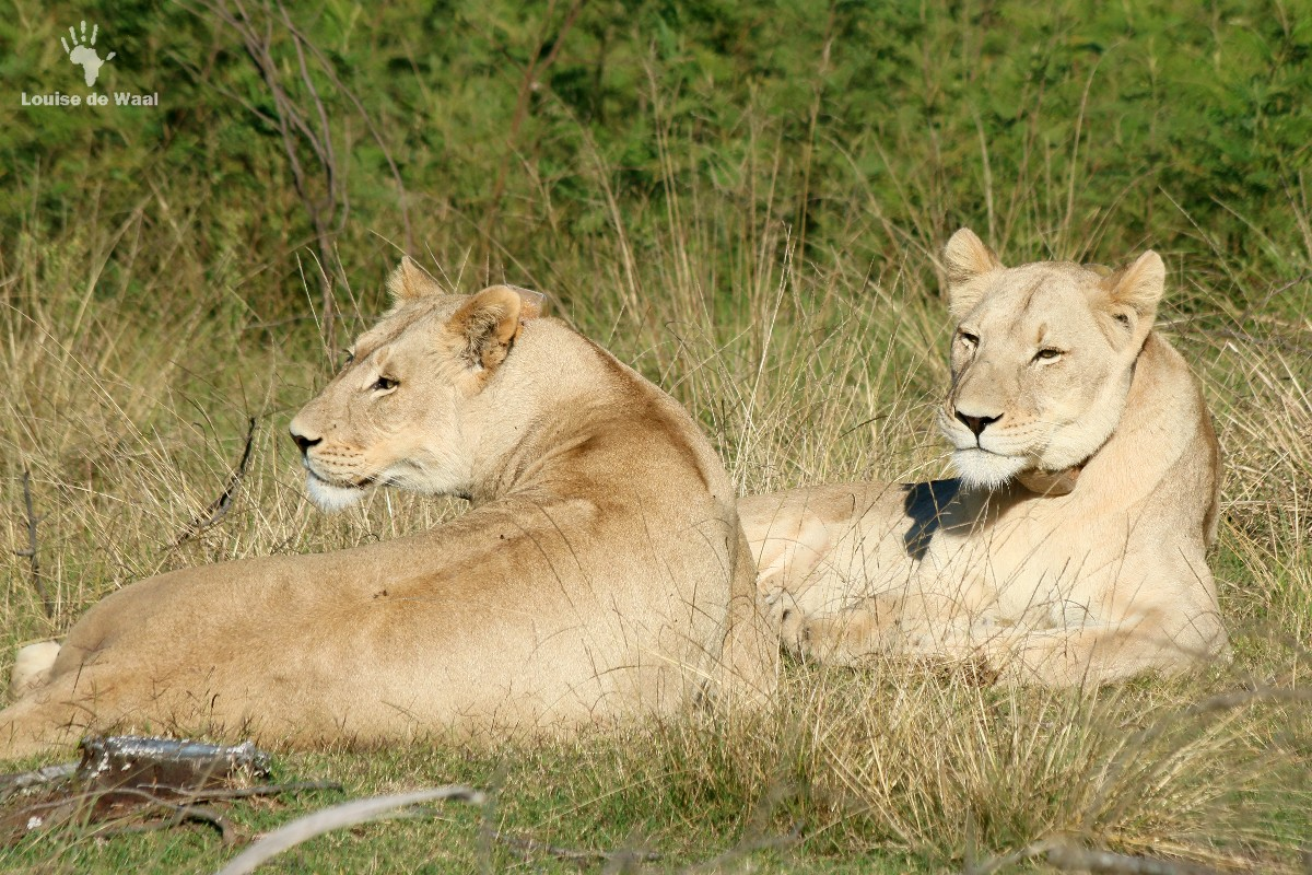 Gondwana Game Reserve lionesses from Shamwari, Garden Route