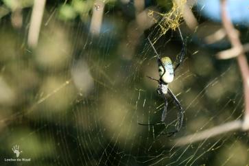 Orb spider Gondwana Game Reserve