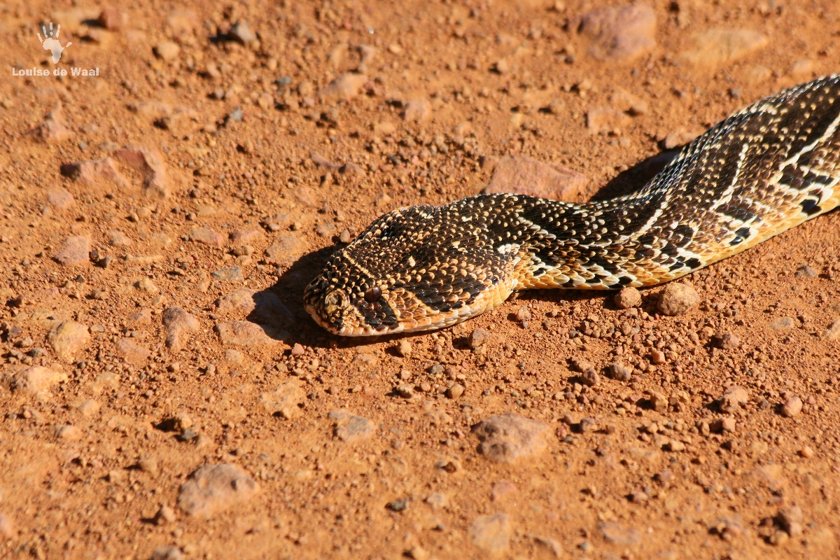 Puff adder Gondwana Game Reserve, Mosselbay